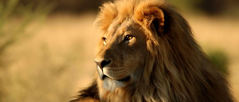 lion feat